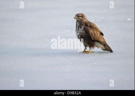 Mäusebussard, Common Buzzard, Buteo buteo - Stock Photo