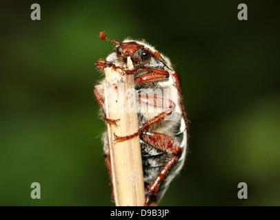 Male Eurasian Cockchafer a.k.a. May Bug (Melolontha melolontha)