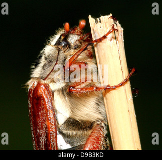 Very detailed close-up of a male Cockchafer a.k.a. May Bug (Melolontha melolontha)