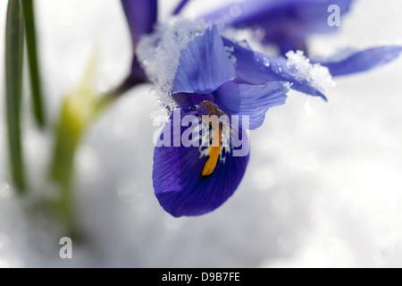 Blue dwarf iris with snow, close up - Stock Photo