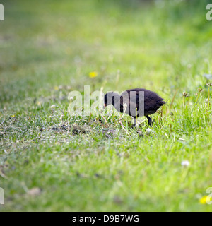 Moorhen chick (Gallinula chloropus) feeding on the grass, imature, fledgling, young birds, chick, chicks, baby birds, - Stock Photo