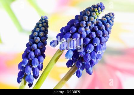 Blue grape hyacinth flowers, close up - Stock Photo