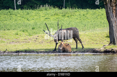 male and female couple red deer in Holland - Stock Photo