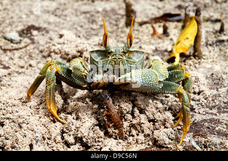 Close up shot of a horned ghost crab
