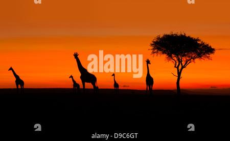 Giraffe herd at Sunrise, Masai Mara, Kenya - Stock Photo