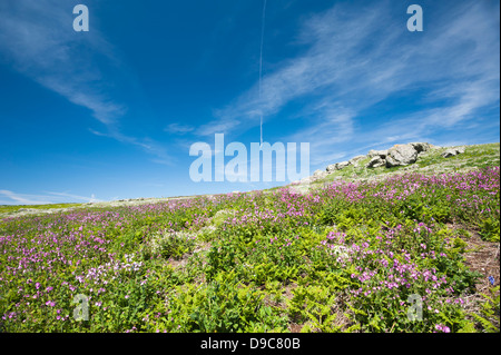 View across the island of Skomer in spring, South Pembrokeshire, Wales, United Kingdom - Stock Photo