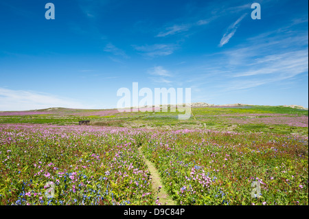 Moory Mere hide and Gorse Hill on the island of Skomer in spring, South Pembrokeshire, Wales, United Kingdom - Stock Photo