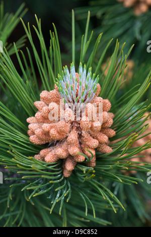 Pinus mugo. Male flowers on the Swiss mountain pine or Mugo Pine - Stock Photo