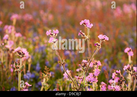 Red Campion, Silene dioica, at dusk on Skomer, South Pembrokeshire, Wales, United Kingdom - Stock Photo