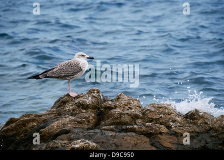 Yellow-legged Gull immature standing on rocky coast - Stock Photo