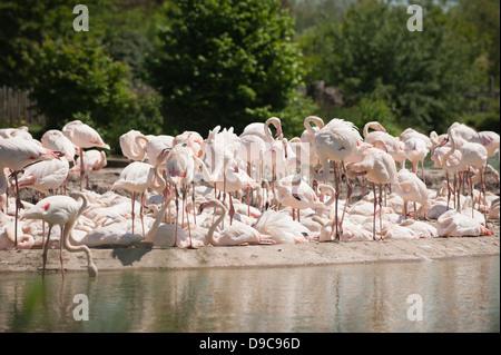 Greater Flamingo, Phoenicopterus roseus, at Slimbridge WWT in Gloucestershire - Stock Photo