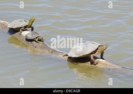 Big Bend Sliders, (Trachemys gaigeae gaigeae), and Western Painted Turtle, (Chrysemys picta bellii), at Bosque del - Stock Photo