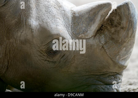 Duisburg, Germany. 17th June, 2013. A white rhionocerus or square-lipped rhinoceros (Ceratotherium simum) lies in - Stock Photo