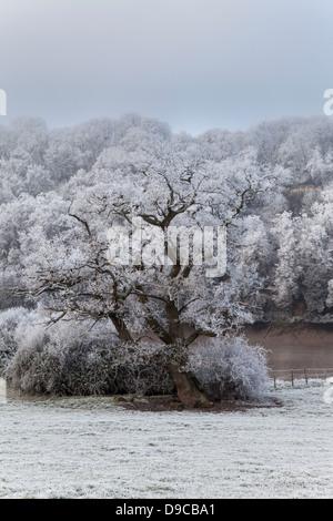 HOAR FROST ON OAK TREE IN THE WYE VALLEY NEAR CHEPSTOW WALES UK - Stock Photo