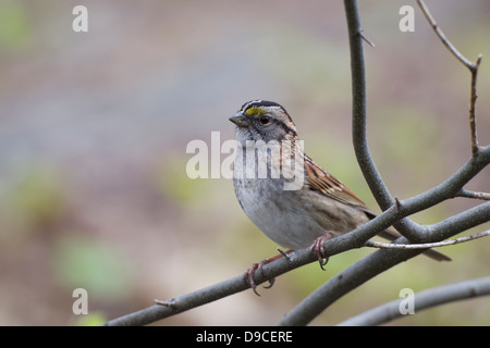 White-throated Sparrow (Zonotrichia albicollis), tan-striped morph, foraging in New York City's Central Park. - Stock Photo