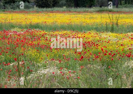 A field of spring flowers in Castiglione del Lago Province of Perugia - Stock Photo