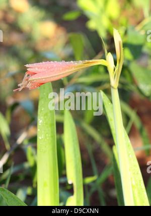 Orange Amaryllis flower with water drop - Stock Photo