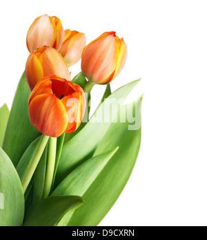 Beautiful orange tulips isolated on white background.Shallow focus - Stock Photo