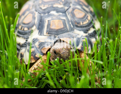 Mountain or leopard tortoise (Geochelone pardalis) walking in the green grass. - Stock Photo