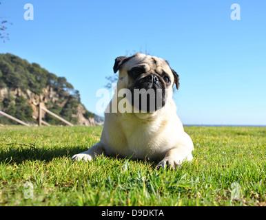 pug in a garden - Stock Photo