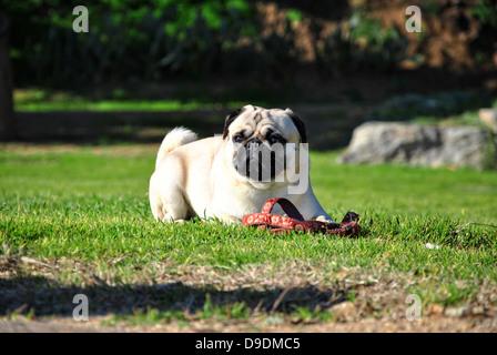 pug dog in a garden - Stock Photo