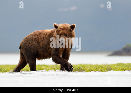 Grizzly bear fishing in water