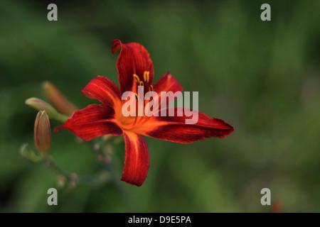 ORANGE FLOWER TIGER LILY WILD GREEN BACKGROUND - Stock Photo