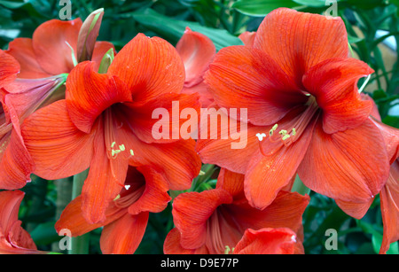 Large bight red amaryllis flowers close-up. - Stock Photo
