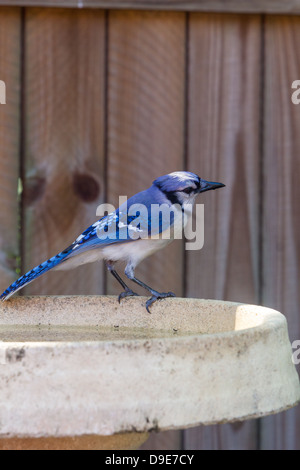 Blue jay perches on edge of bird bath - Stock Photo
