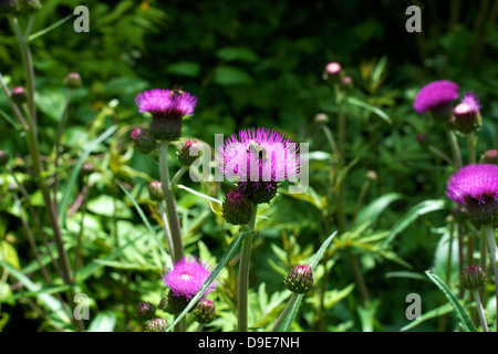 Close up of Flowering Cirsium Vulgare Spear Thistle with bees in a meadow in Surrey in June - Stock Photo