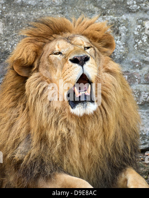 Angry African lion - Stock Photo