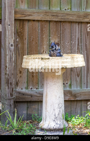 Blue jay bathes in bird bath near wood fence - Stock Photo