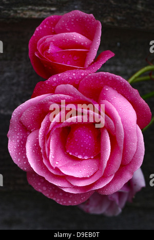 2 Pink Roses after the rain in Garden Setting - Stock Photo