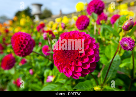Red and yellow dahlias in a garden. - Stock Photo