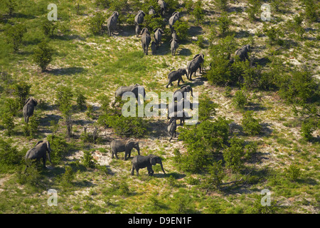 Elephants, Okavango Delta, Botswana, Africa - aerial - Stock Photo