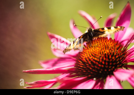 Butterfly (Aglais urticae) on a coneflower or Echinacea Purpurea. - Stock Photo