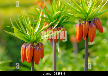 Three Orange Crown imperial flowers early summer (Fritillaria imperialis) - Stock Photo