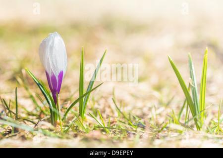Single violet crocus on the grass, selective focus - Stock Photo