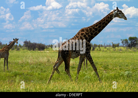 Giraffe (Giraffa camelopardalis angolensis), Nxai Pan National Park, Botswana, Africa - Stock Photo