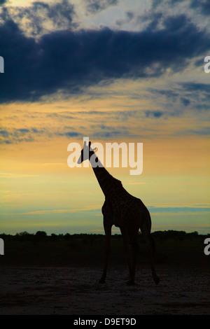Silhouette of Giraffe (Giraffa camelopardalis angolensis), Nxai Pan National Park, Botswana, Africa - Stock Photo