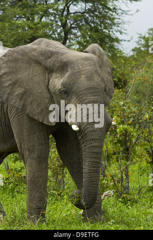 Elephant (Loxodonta africana), beside Nata - Kasane Road, Botswana, Africa - Stock Photo
