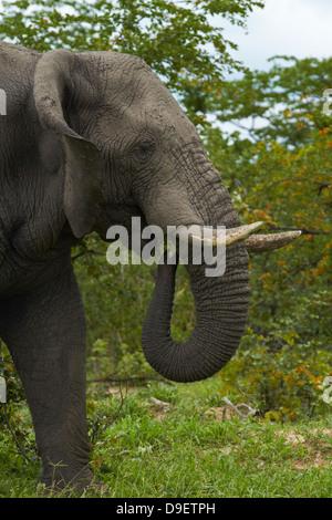 Elephant (Loxodonta africana), beside Nata - Kasane Road, Botswana, Africa - Stock Photo