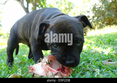 brindle staffordshire bull terrier puppy chewing on a bone in the garden - Stock Photo