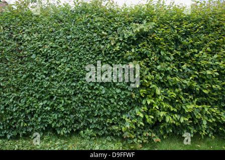 Hornbeam hedge half cut in summer - Stock Photo