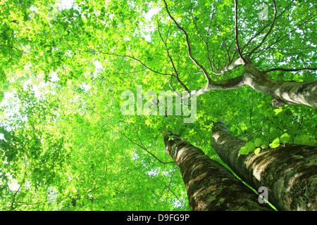 Beech forest, Akita Prefecture - Stock Photo