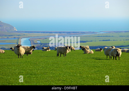 Sheep with Cuckmere Haven in the background, East Sussex, England, UK - Stock Photo