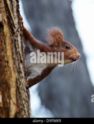 Red squirrel in Parque del Retiro, Madrid, Spain