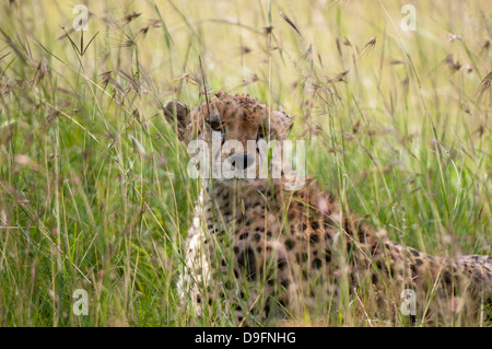 Cheetah (Acynonix jubatus), Masai Mara National Reserve, Kenya, East Africa, Africa - Stock Photo