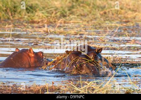 Hippopotamus (Hippopotamus amphibius), Chobe National Park, Botswana, Africa - Stock Photo