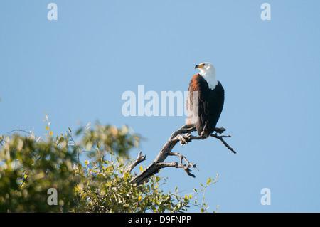 African fish eagle (Haliaeetus vocifer), Chobe National Park, Botswana, Africa - Stock Photo